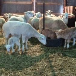 ewes-with-lambs