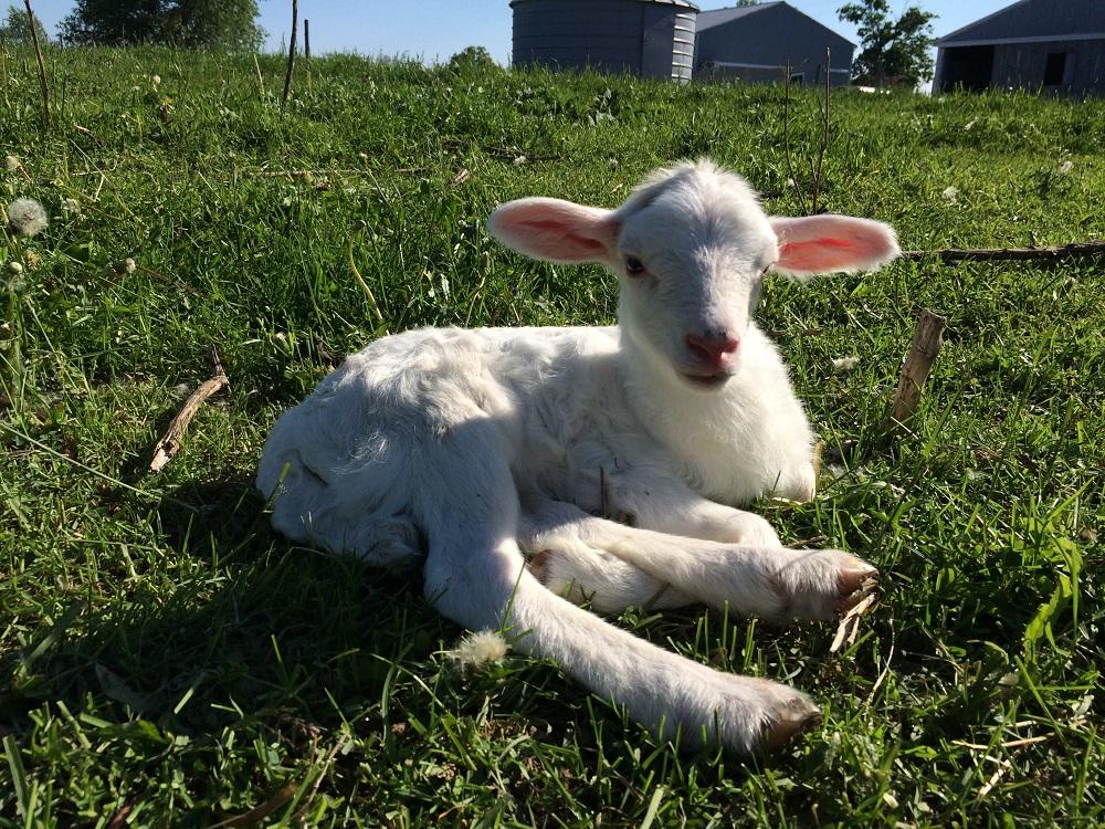 Baby Lamb Enjoying the Sun