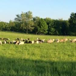 pastured-lamb