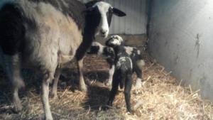 muffy's lambs