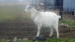 Here's a Picture of Rain, Our Goat!