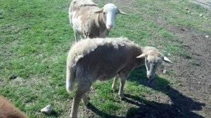 shedding sheep