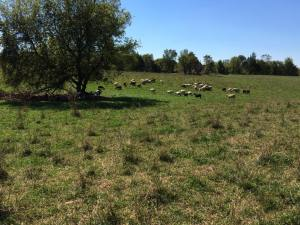 pasture with lambs